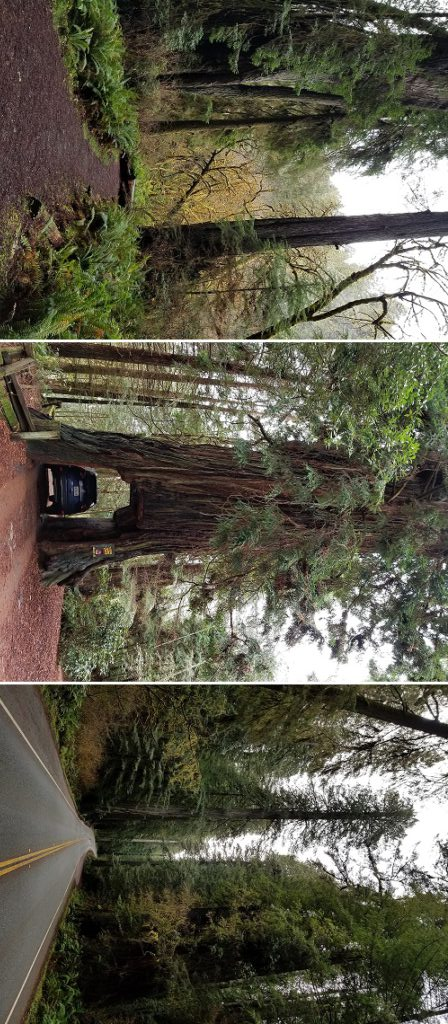 redwoods national park pictures