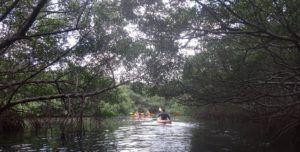 mangrove kayaking in st. petersburg florida