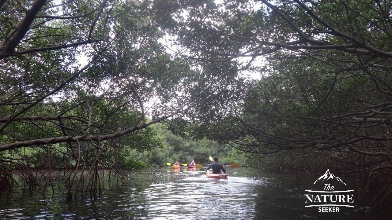 kayaking in mangroves in st.petersburg florida