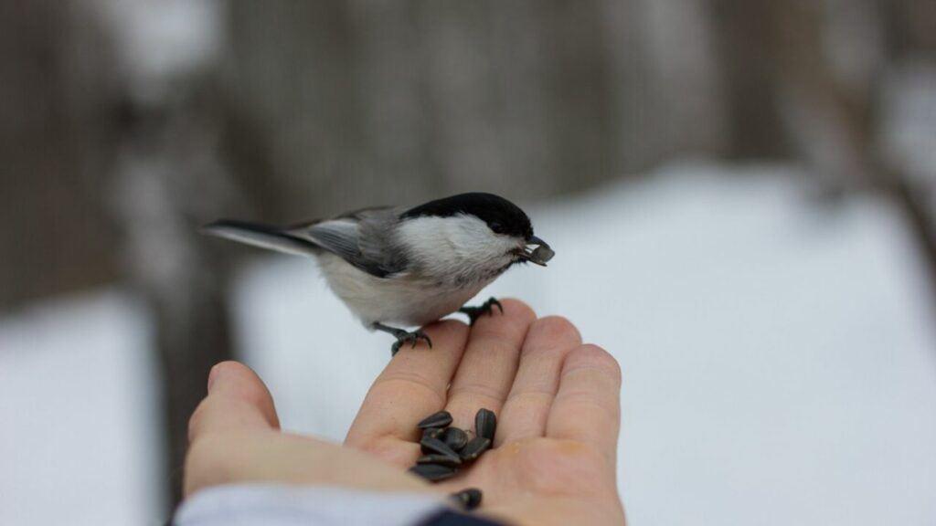 bird feeding mont tremblant national park