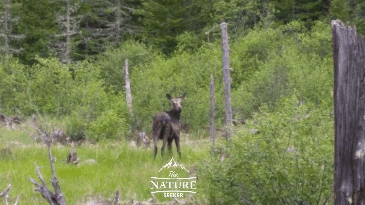 beware of moose at gulf hagas