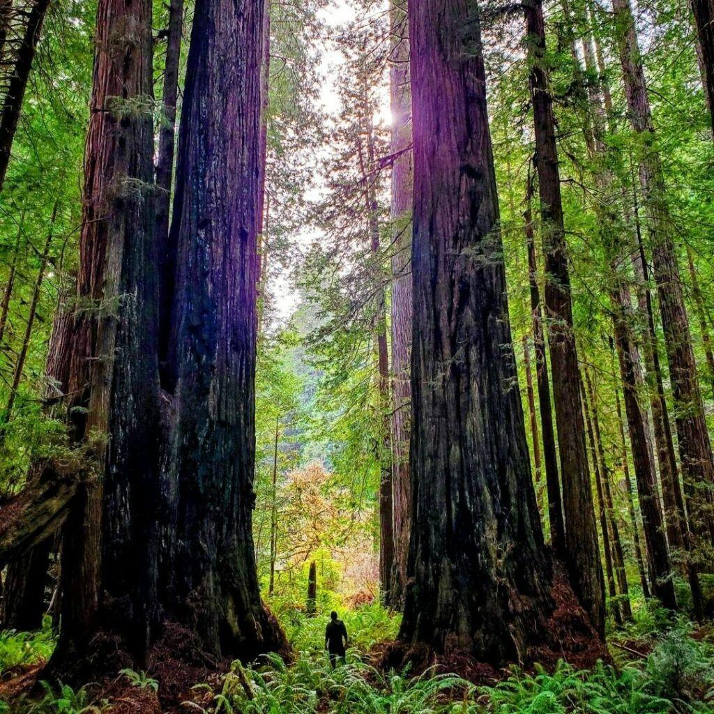 redwoods pacific coast highway road trip