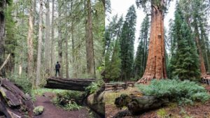 Redwoods vs Sequoia 1