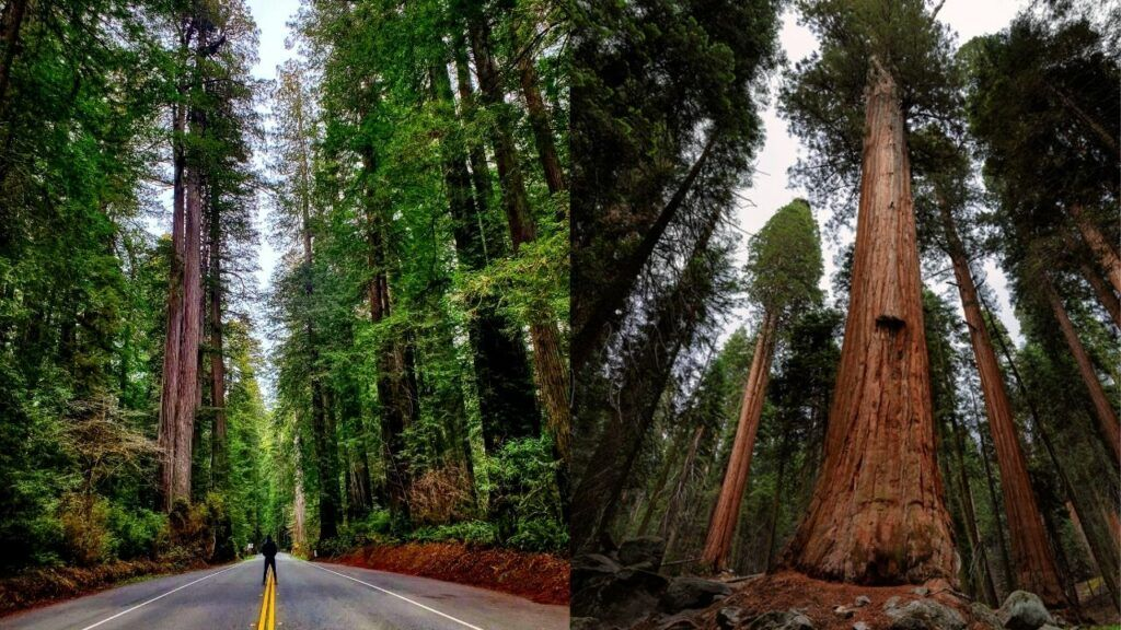Redwoods vs Sequoia 2