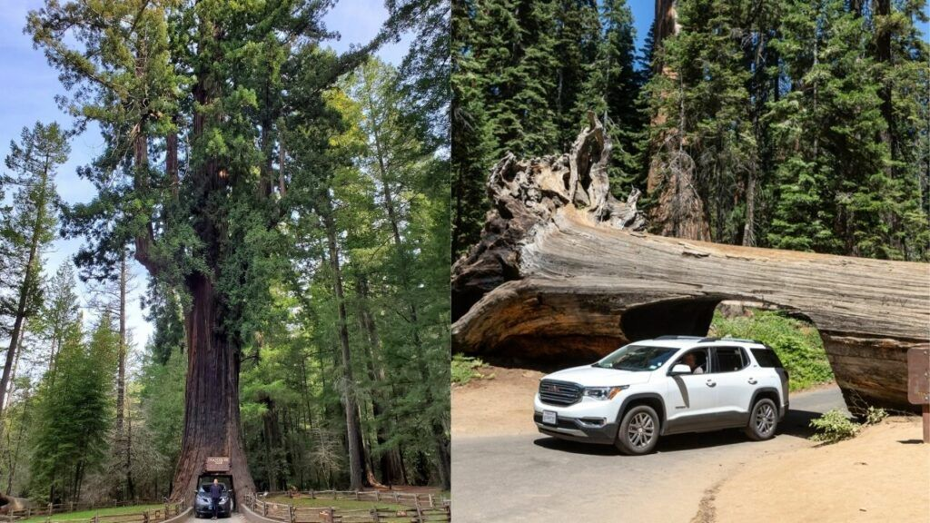 Redwoods vs Sequoia 3