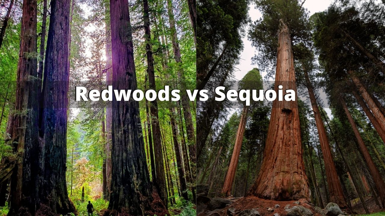 Redwoods vs Sequoia