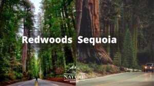 redwoods vs sequoia 2