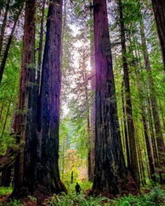 the redwoods vs sequoia national park