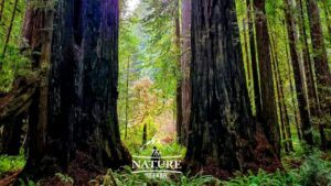 the redwoods california coast