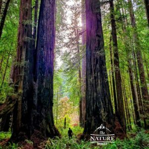 redwoods park western us road trip